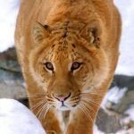 Тигуар на фото