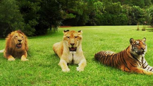 Тигр, лев и лигр вместе