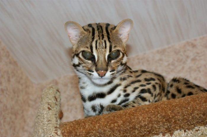 Бенгальский кот охотитя