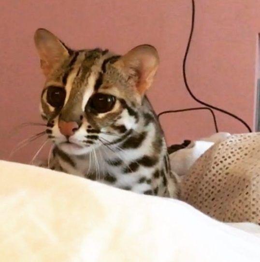 Пятнистый кот с белым и рыжим