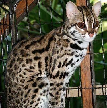 Бенгальский пятнистый кот
