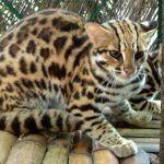 Бенгальский кот в неволе