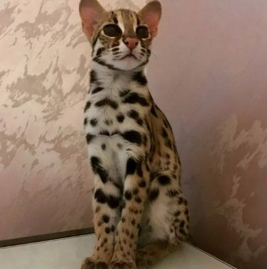Пятнистый дикий кот