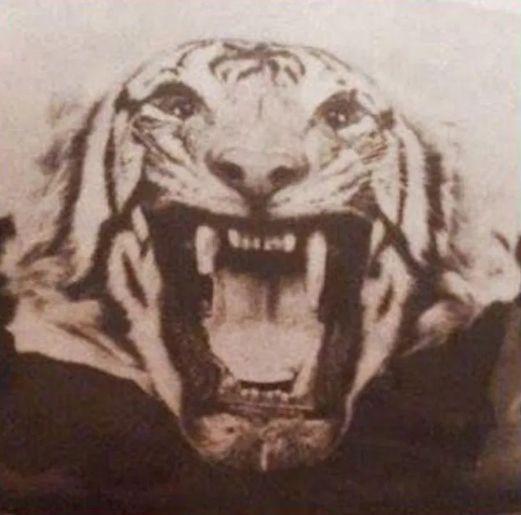 Морда тигрицы из Чампавата