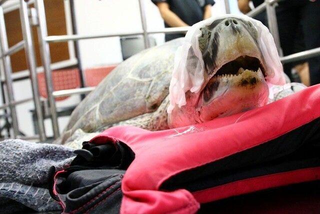 Реабилитация черепахи