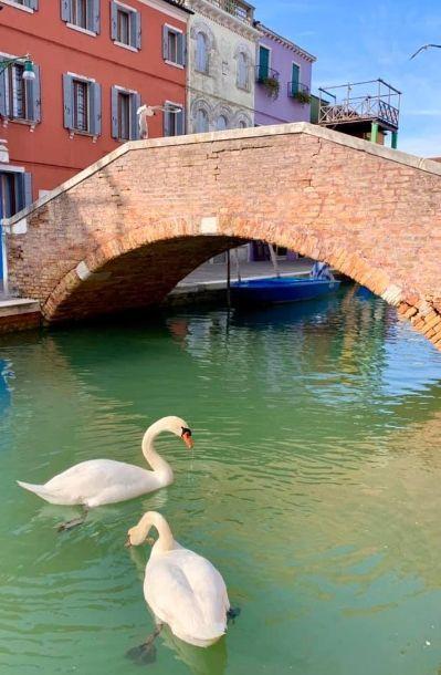 Лебеди в Венеции