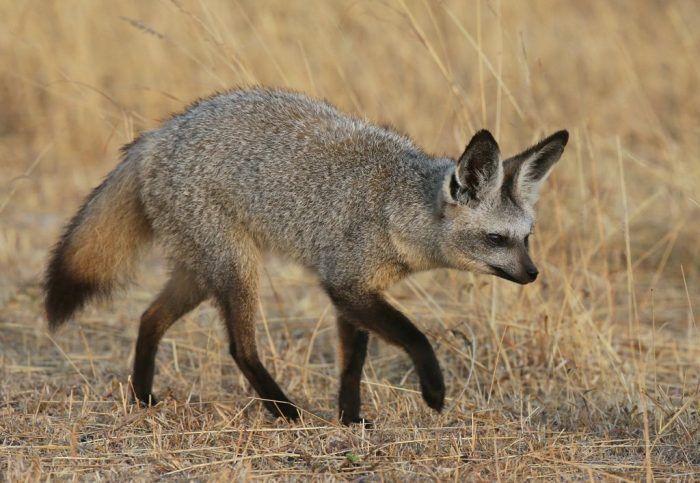 Представитель ушастых лисиц