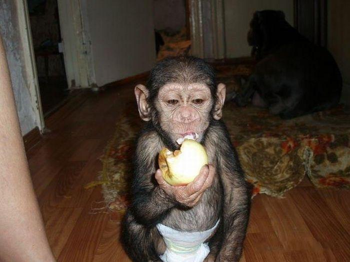 Усыновленная обезьянка
