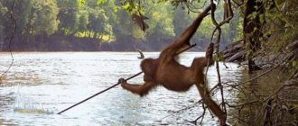 Орангутан с копьем