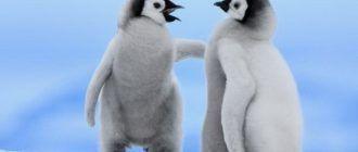 Милые императорские пингвинята