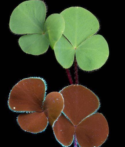 Листья кислицы