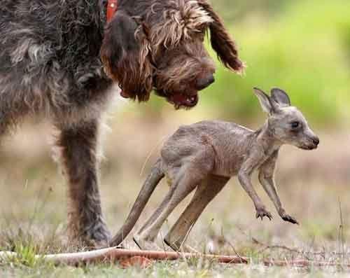 Рекс и кенгуренок