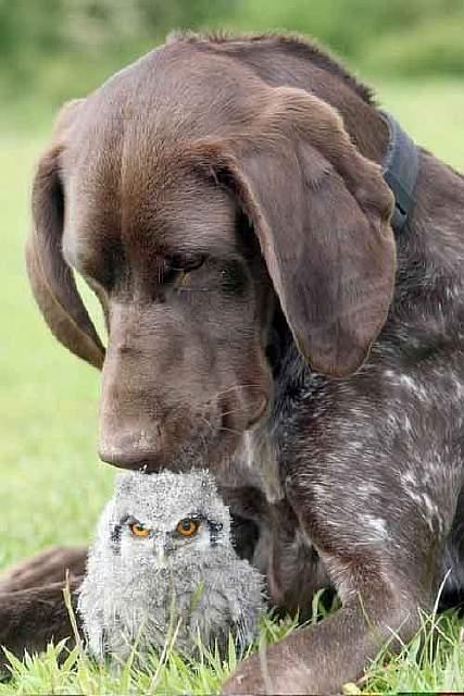 Собака и совенок