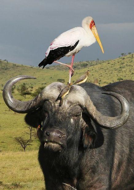 Рога буйвола