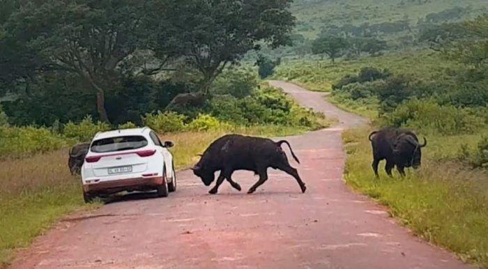 Размеры буйвола