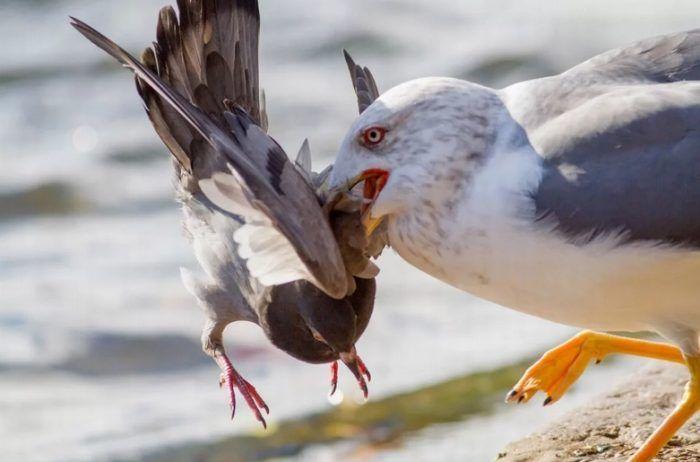 Поймала голубя