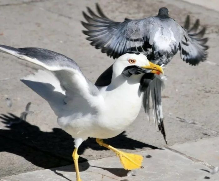 Хохотунья с голубем