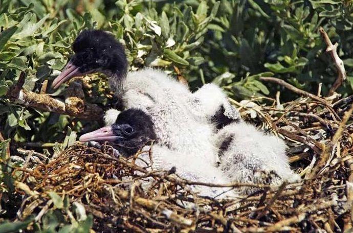 Птенцы ибиса