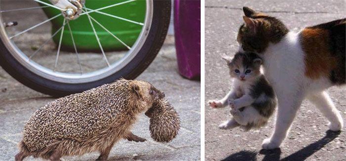 Кошка и ежиха