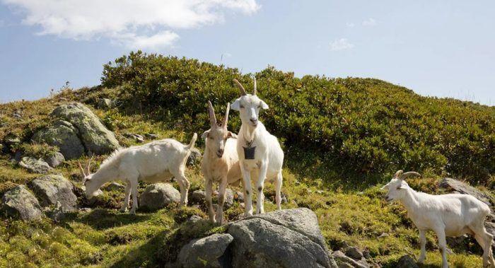Одичавшие козы