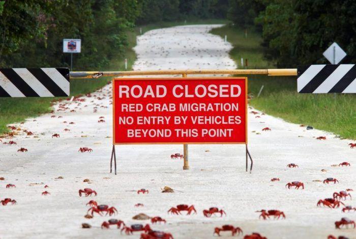 Закрытая дорога из-за миграции крабов