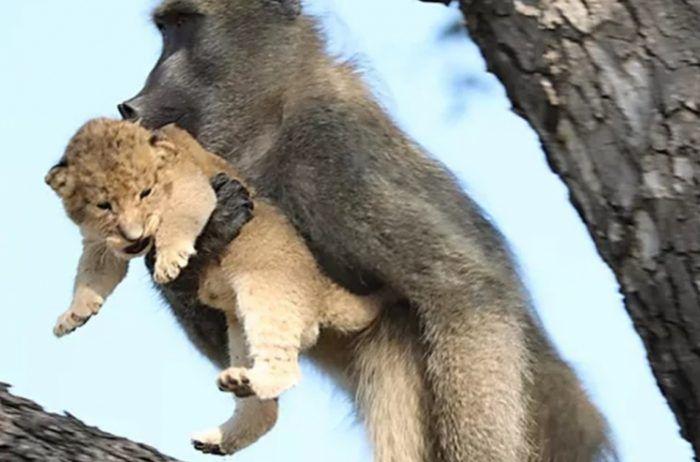 Львенок во рту у обезьяны