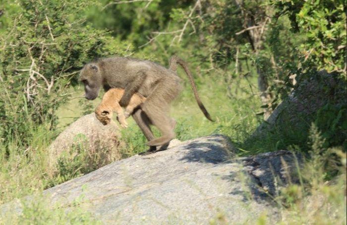 Львенка похитили