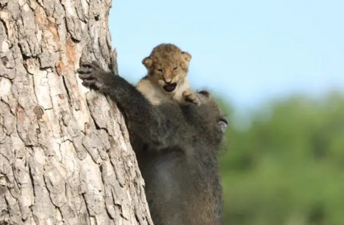 Бабуин карабкается по дереву