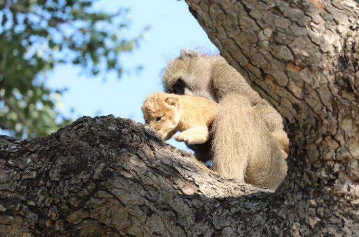 На дереве со львенком
