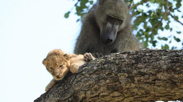 Обезьяна со львенком на дереве