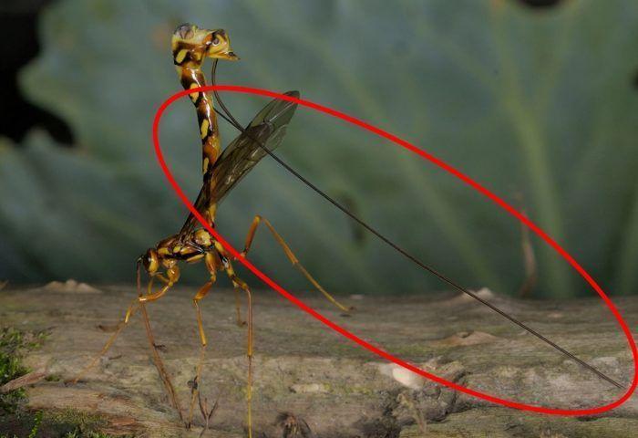 Яйцекладка осы