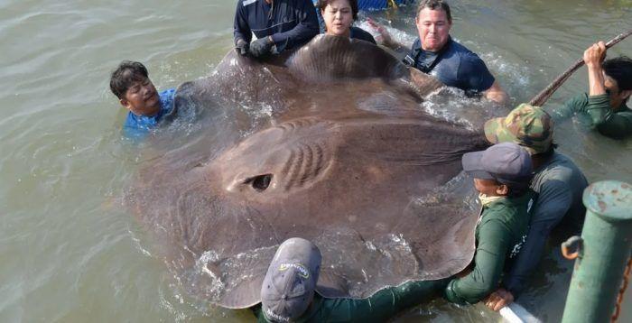 Огромный скат-рыба