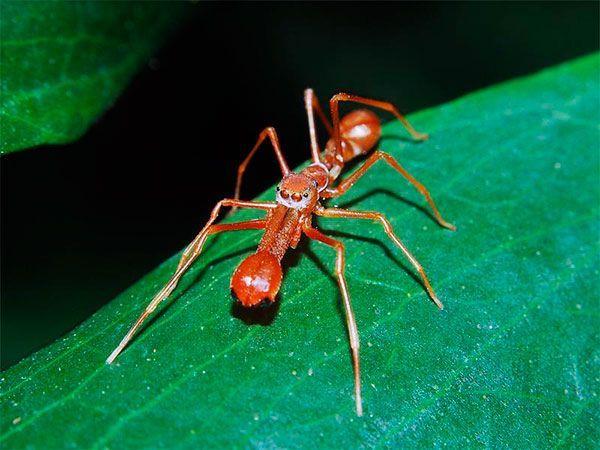 Паук-муравей