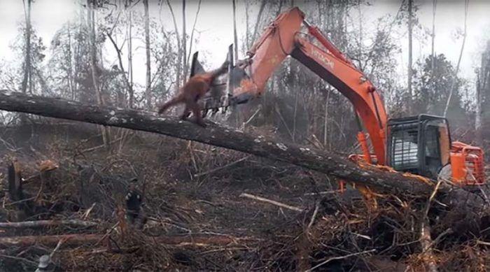 Орангутан противостоит лесорубам