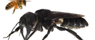 Сравнение пчел