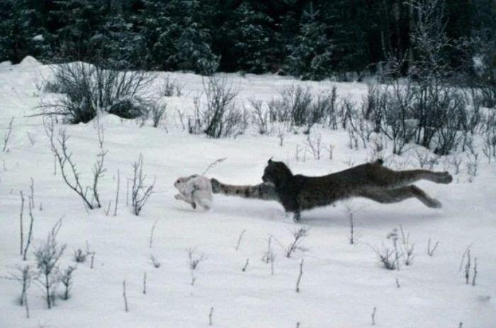 Охота рыси