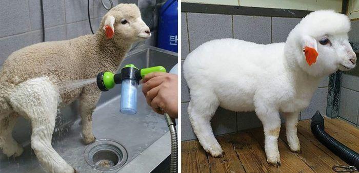 Мытье овечек