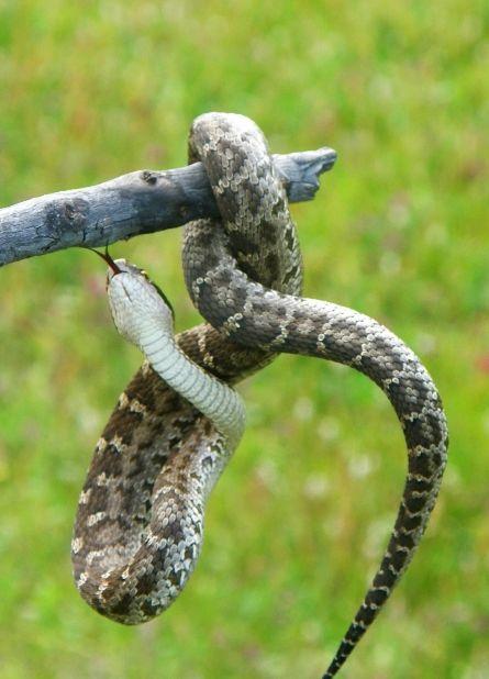 Змея извивается