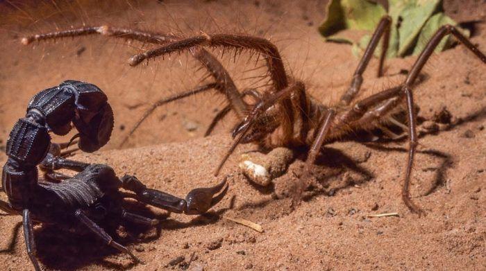 Охотится на скорпиона