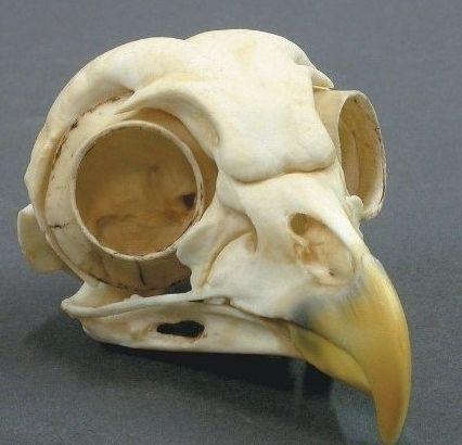 Кости в глазах у совы