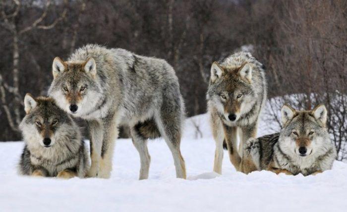 Несколько волков