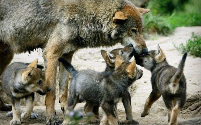 Альфа и бета и волчица