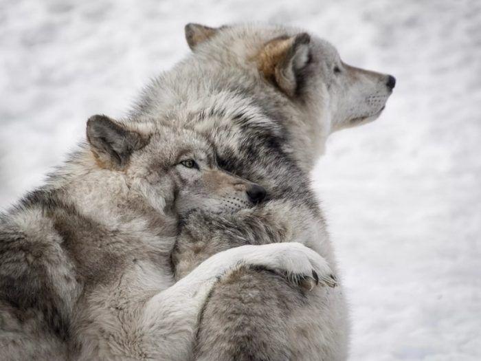 Волки вдвоем