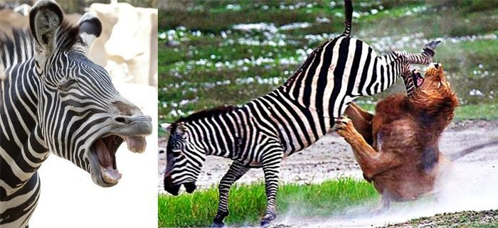 Два фото зебрами