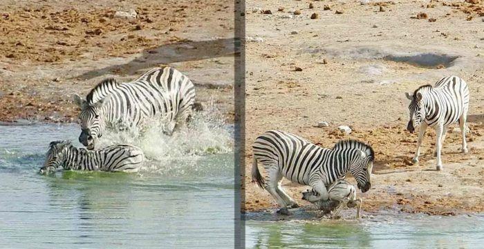 Зебры в воде