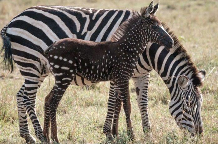 Горошек у зебры