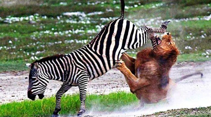 Зебра отбрыкивается ото льва