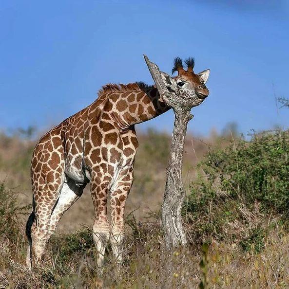 Жираф пытается спать