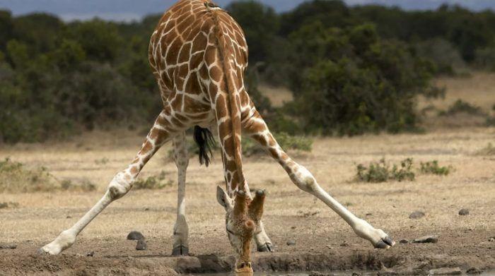 Жираф пьет