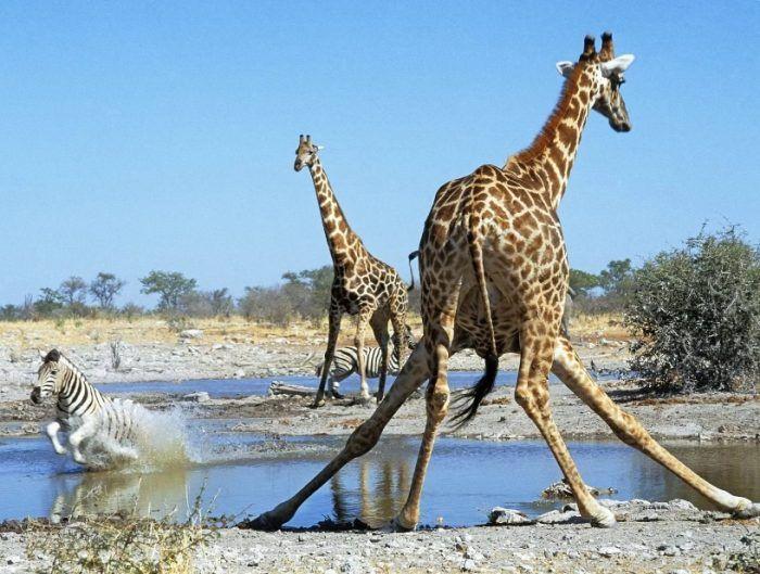 Жираф собирается пить воду